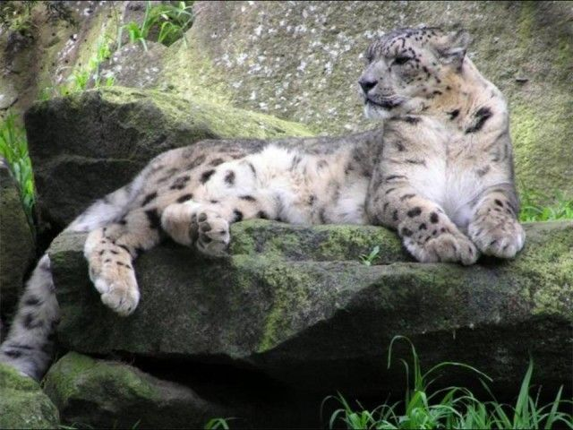 فهود اسود ونمور برية الحيوانات المفترسة feline17.jpg